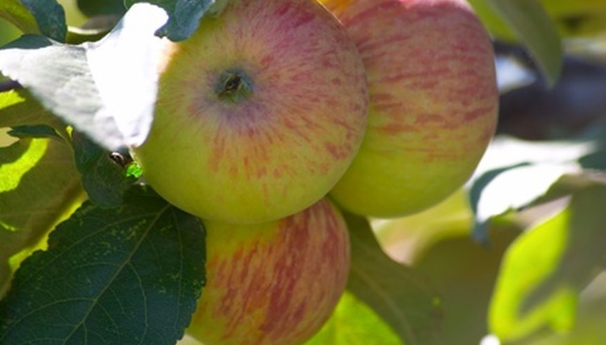 Healthy apples with no pest problems.