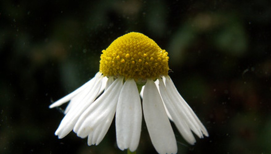Chamomile is the national flower of Russia.