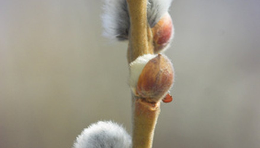 Pussy willow branch in spring.