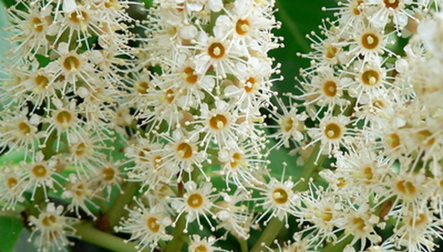 Cherry laurel flowers are fragrant, but the berries are poisonous.