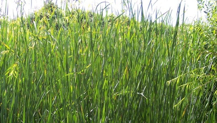 Aztec grass grows in a deep mat, up to 12 inches high with small purple flowers