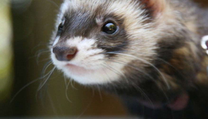 Black-footed ferret.