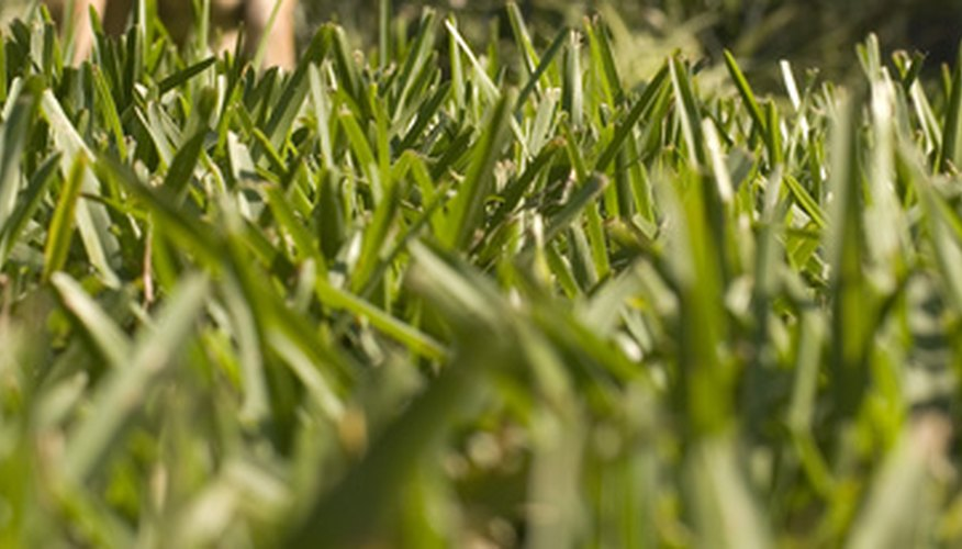 The coarse blades of St. Augustine grass