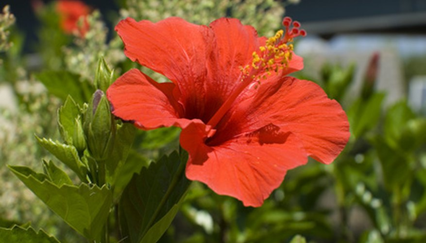 Hibiscus are sun-loving plants.