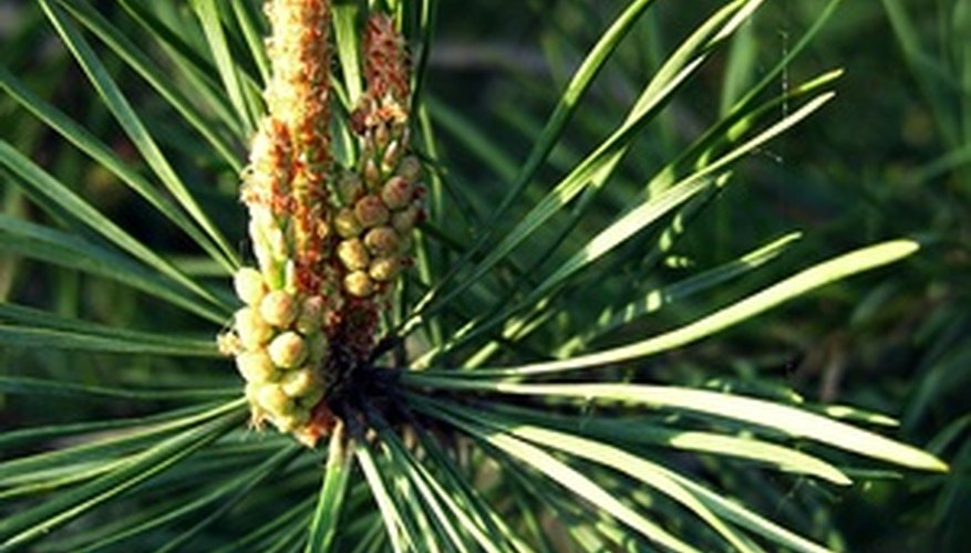 The needle leaves that grow on pine trees typically remain on the tree all year round.