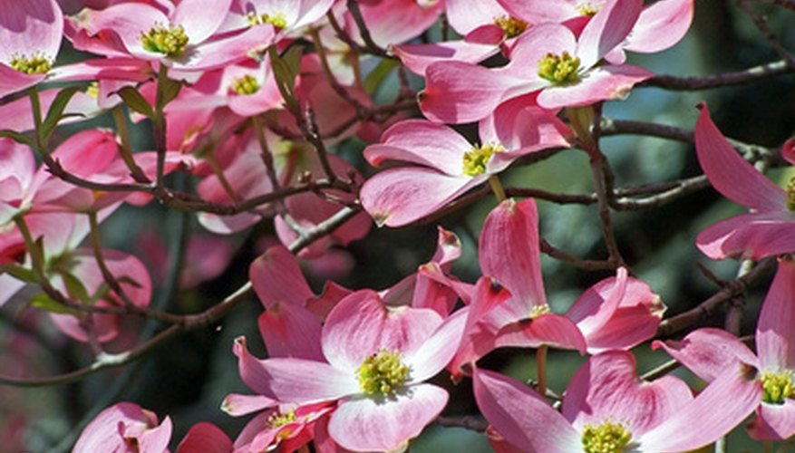 There are white, red and pink dogwood trees