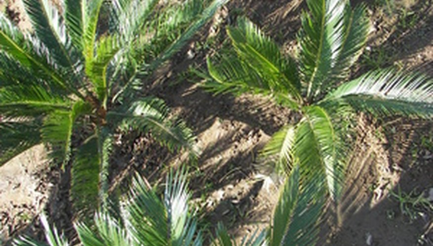 The sago palm is not really a palm at all but a cycad.
