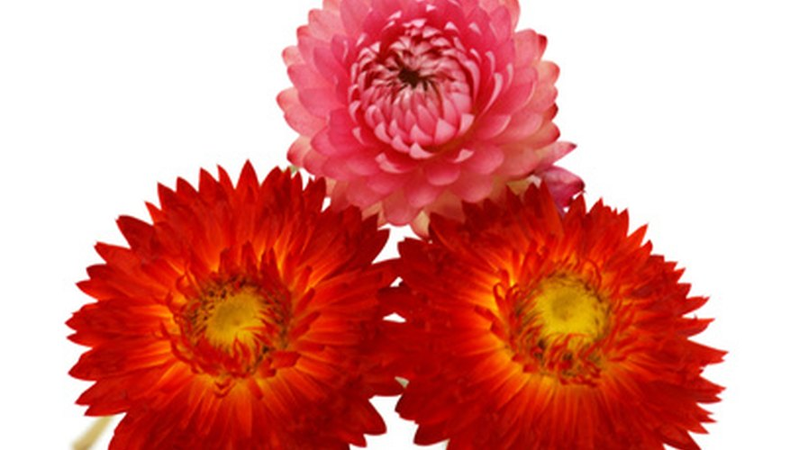 With their daisy-like appearance and papery petals, strawflowers are a popular dried flower.