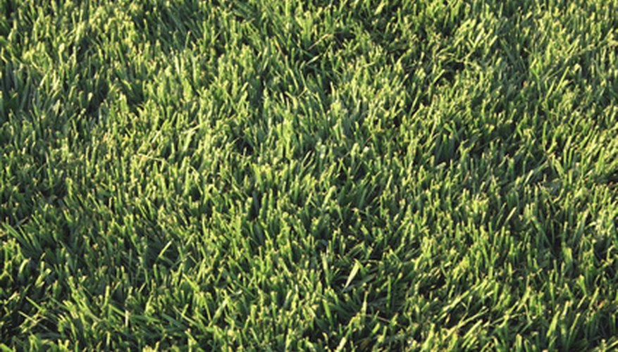 Bermuda grass creates a thick and luxuriant lawn.