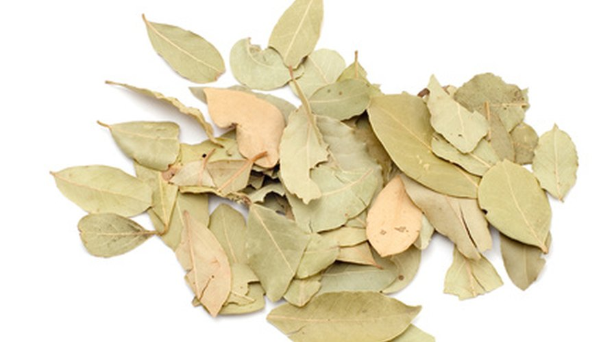 Bay leaves are often dried and used for seasoning.