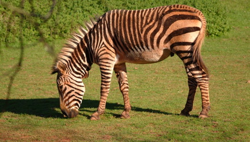 Zebras are sexually mature by the age of 4.