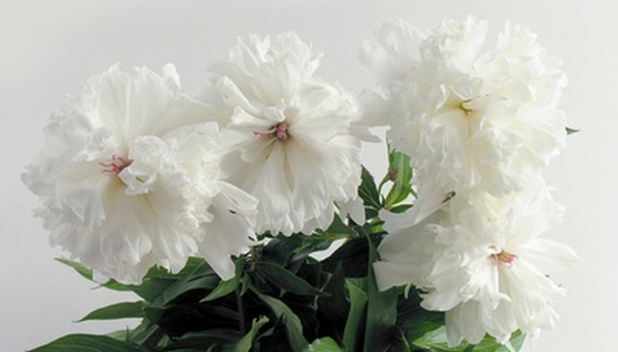 Grow a peony indoors in a container.