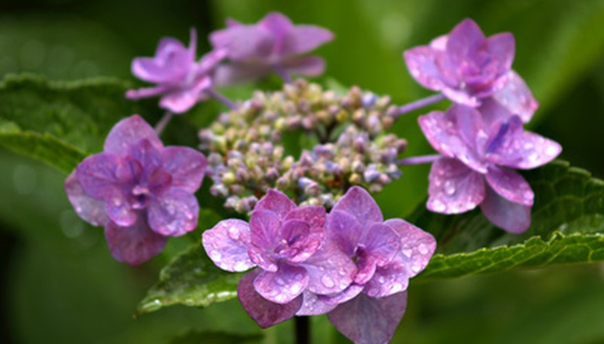 The purplish color of these hydrangea flowers indicates a soil pH of between 5.5 and 6.5.
