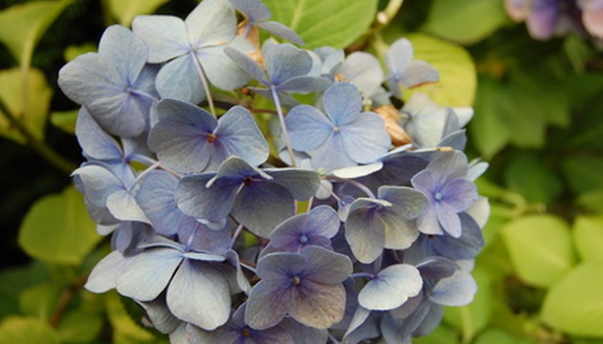 Hydrangea blooms come in blue, violet, pink, magenta and white.
