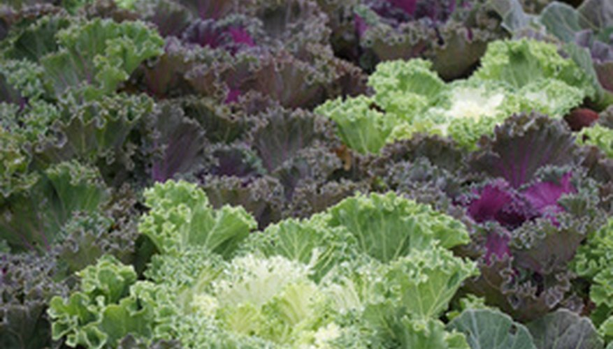Ornamental kale is a great companion plant for colorful pansies.