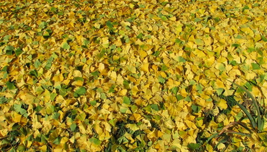 Ginkgo seeds can be collected from the female tree in the fall.