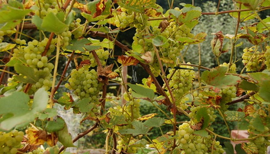Grape vines provide an appealing addition to a landscape and plenty of fruit during harvest.