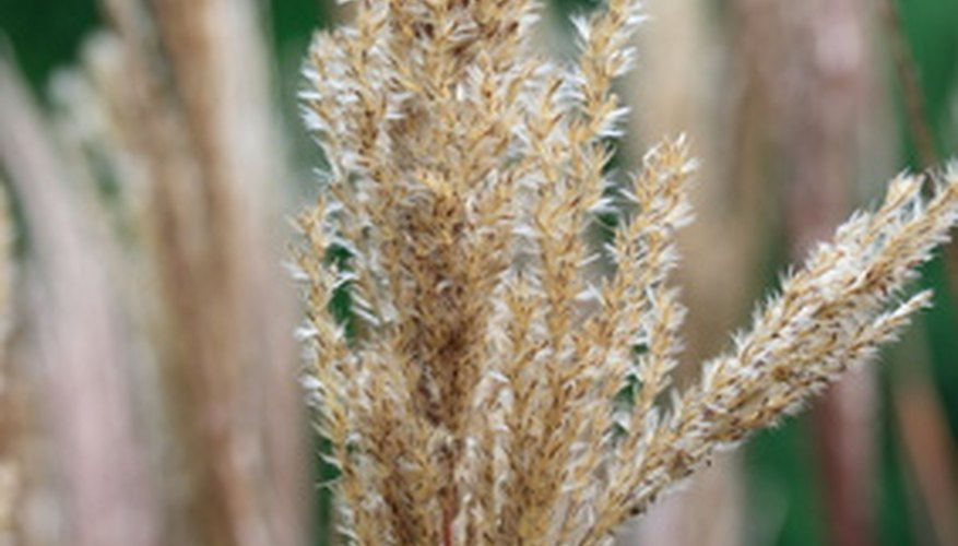 Ornamental grasses in ohio garden guides for Ornamental grasses that grow tall