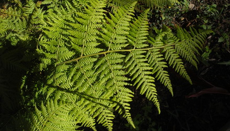 Hay-scented fern spreads vigorously.