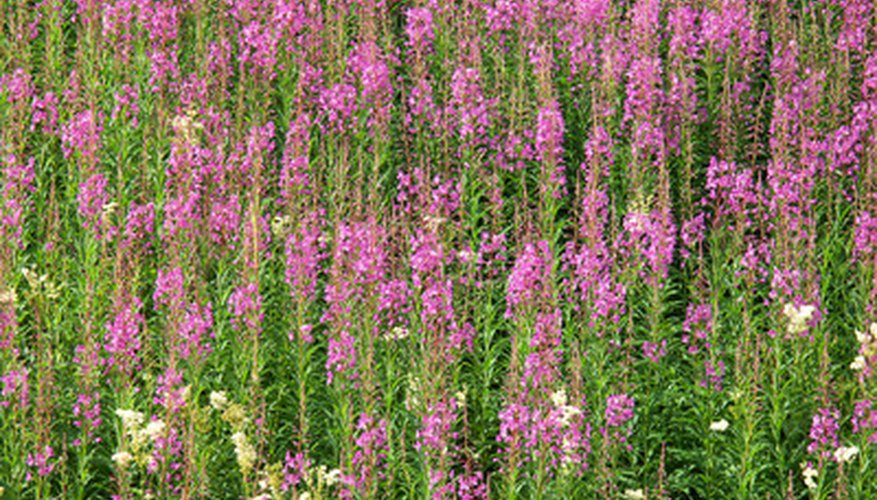 Fireweed adds vivid color to Alaska's roadsides.