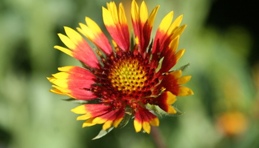 Blanket flowers grow in shades of red and yellow.
