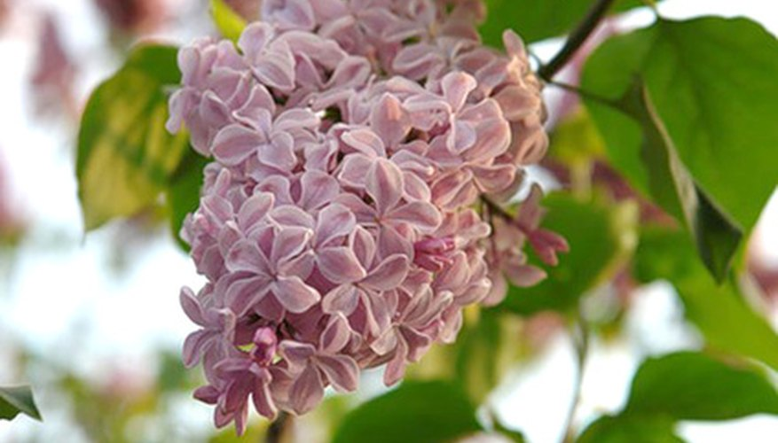 Lilac bush sizes vary depending upon species and cultivar.
