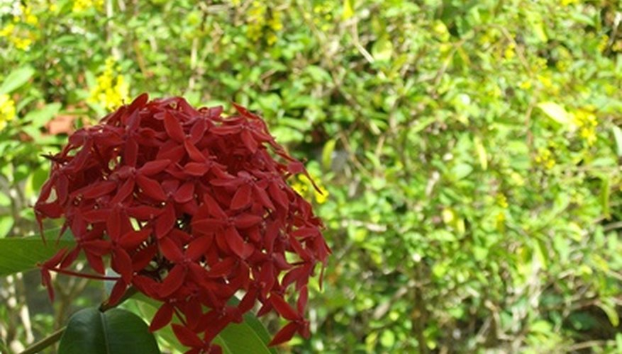 An ixora flower head in silhouette.