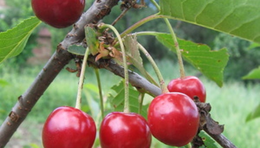 Fresh sweet cherries right off the tree are truly delicious.