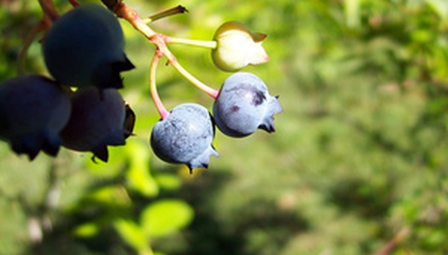 Blueberries grow in clusters.