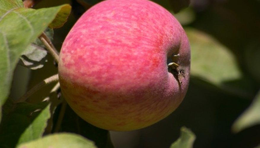 Semi-dwarf apple trees produce fruit within 3 to 4 years.