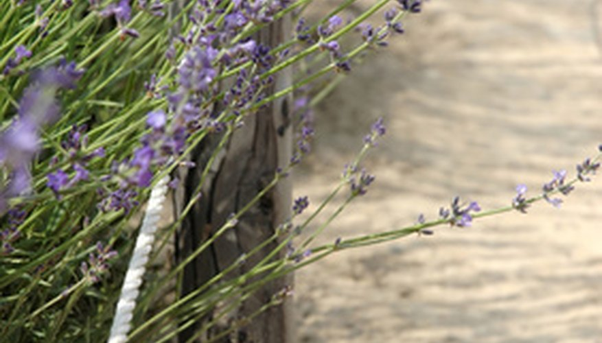 Lavender thrives in the sun and heat near the ocean.