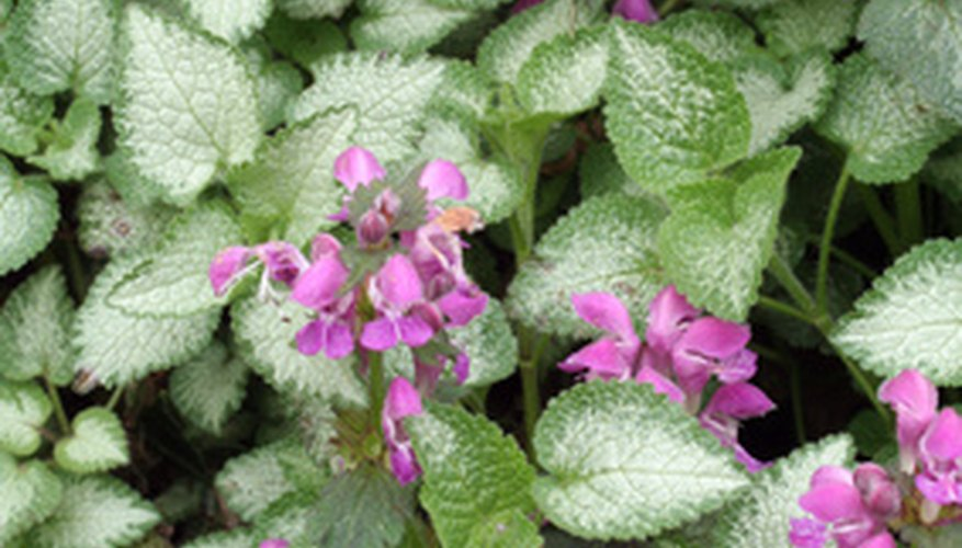 Lamium is a shade-tolerant ornamental groundcover.