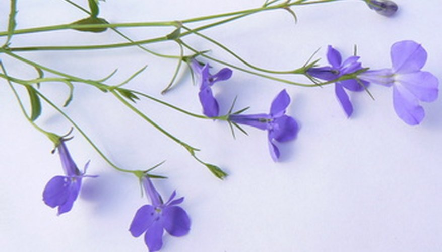 Lobelia plants' flowers are distinct and recognizable.