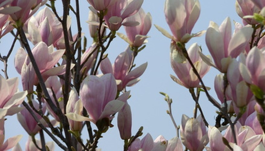 Magnolia trees produce large, beautiful flowers.