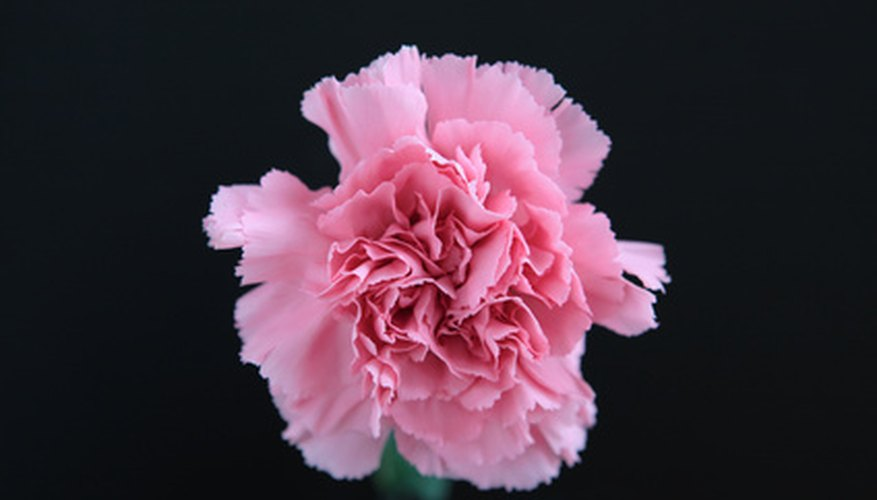 A pink member of Dianthus displays characteristic frilled edges.