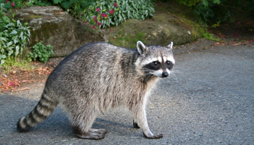 Racoons can destroy your garden during the night.