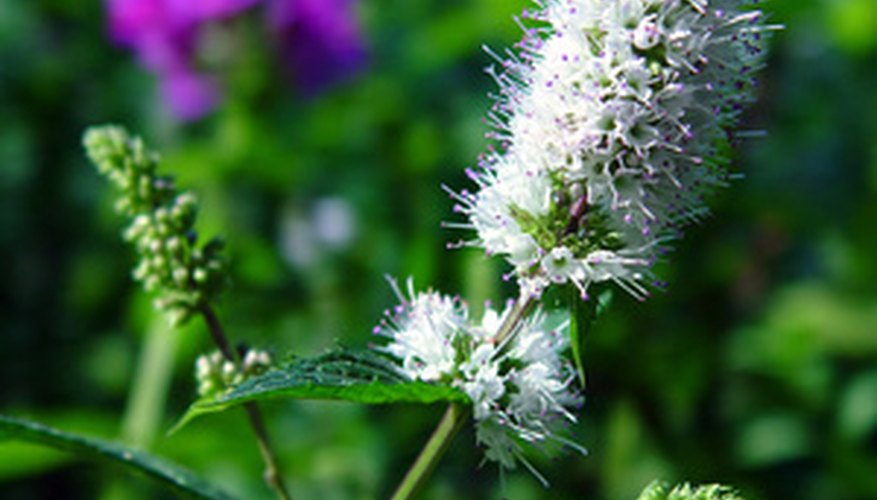 Spearmint is an Ohio native herb.