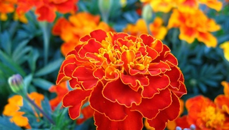 An annual mainstay, the marigold.