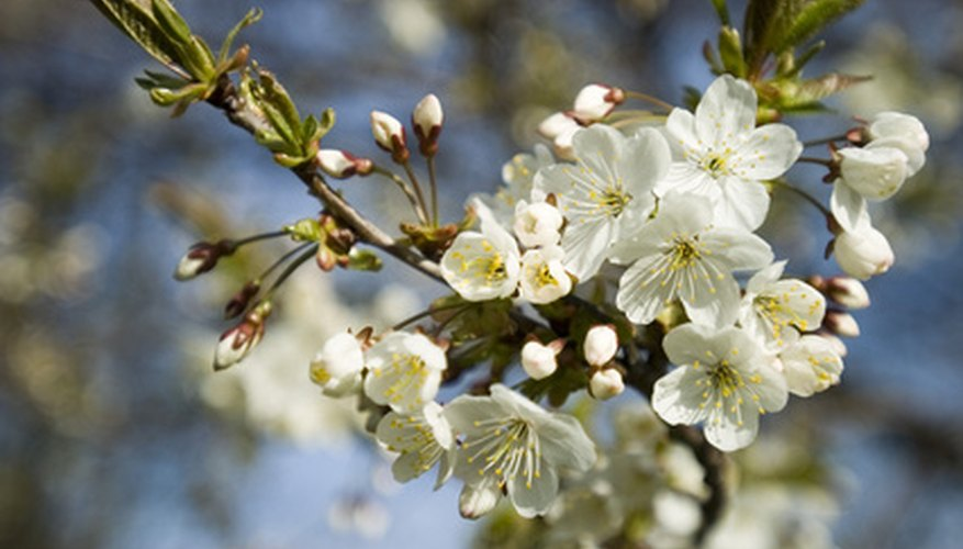 Enjoy cherry tree blossoms in your Maine garden.