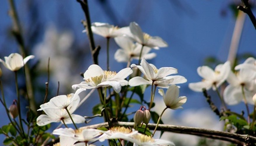 Grow flowers that complement the clematis to add varied color and form in your garden.