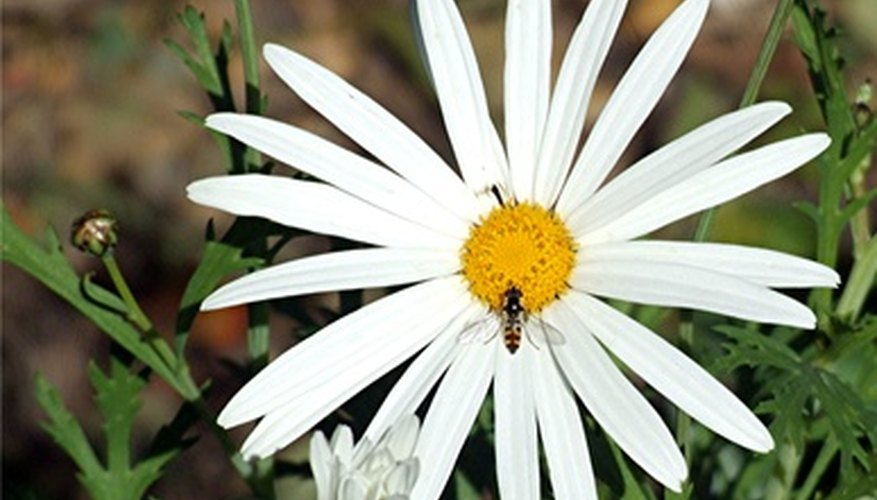 Shasta daisy, like many perennials, benefit from the removal of spent flower heads.