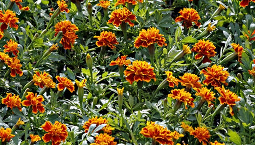 Marigolds help control harmful nematodes in the soil.