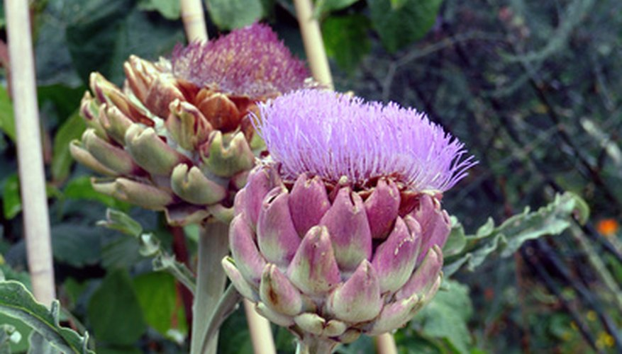 Dry the flowers from an artichoke for a variety of uses.