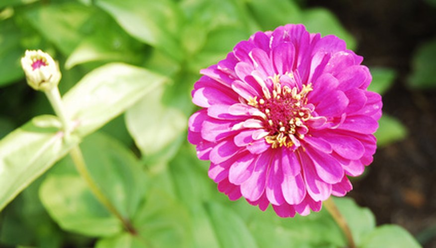 Zinnia flowers bloom all season long.