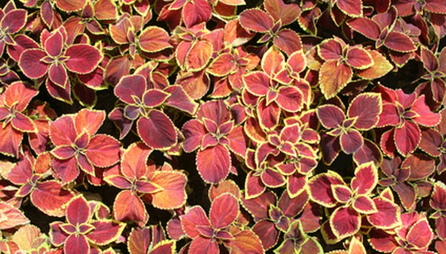 Coleus has copper-colored leaves and complements the copper garden.