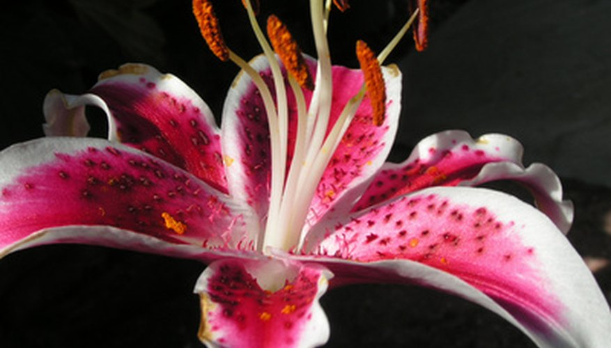 Care for your stargazer lilies over winter to enjoy blooms next summer.
