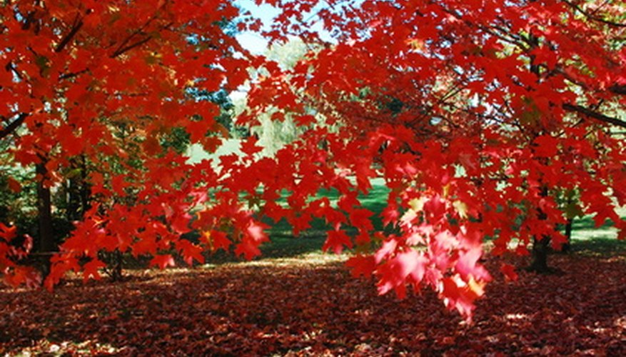 Many red maples have scarlet-colored fall leaves.