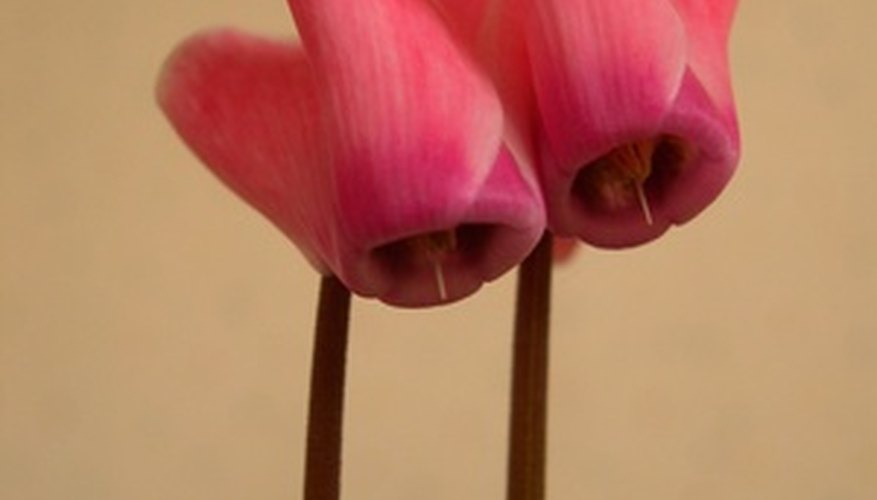 Cyclamen blossoms seem almost to grow backward.