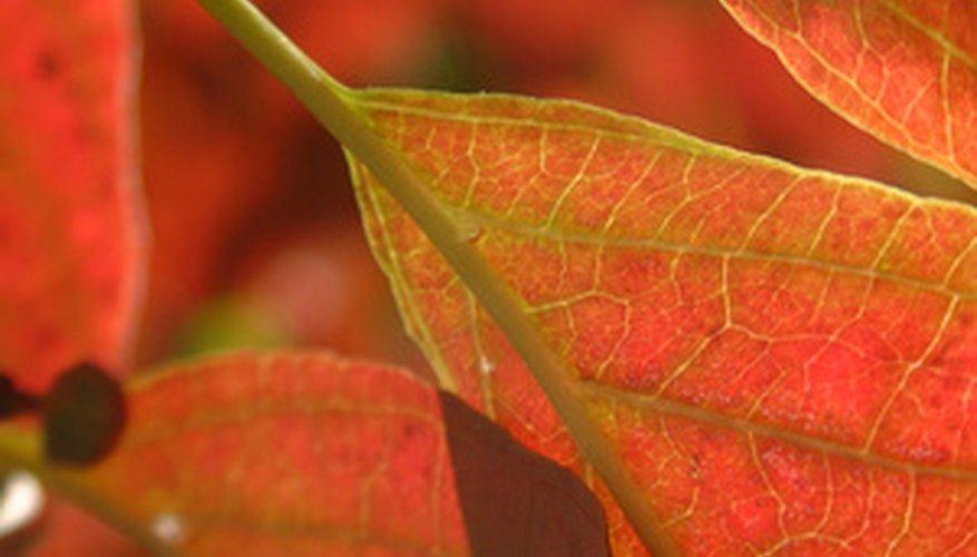Silky dogwood foliage has rich, autumn colors.