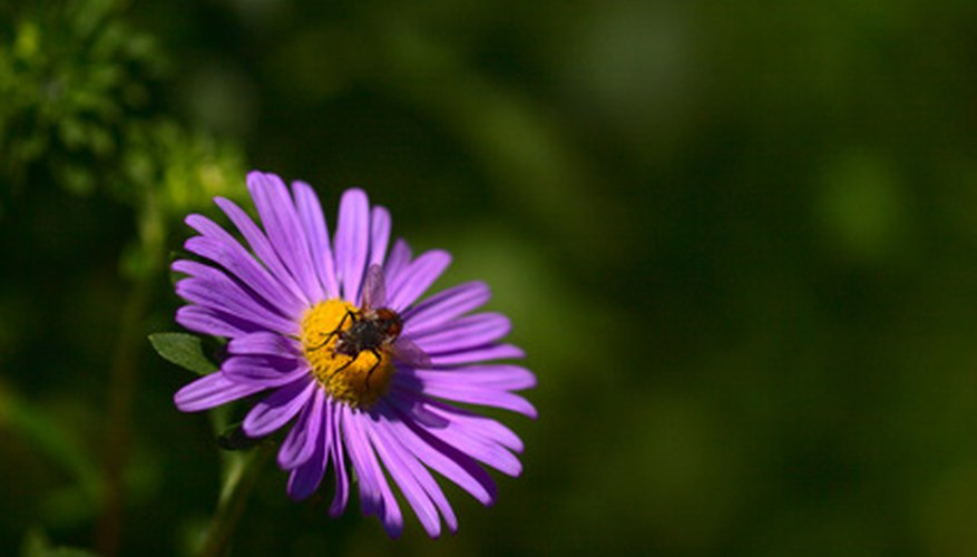 An aster in bloom.